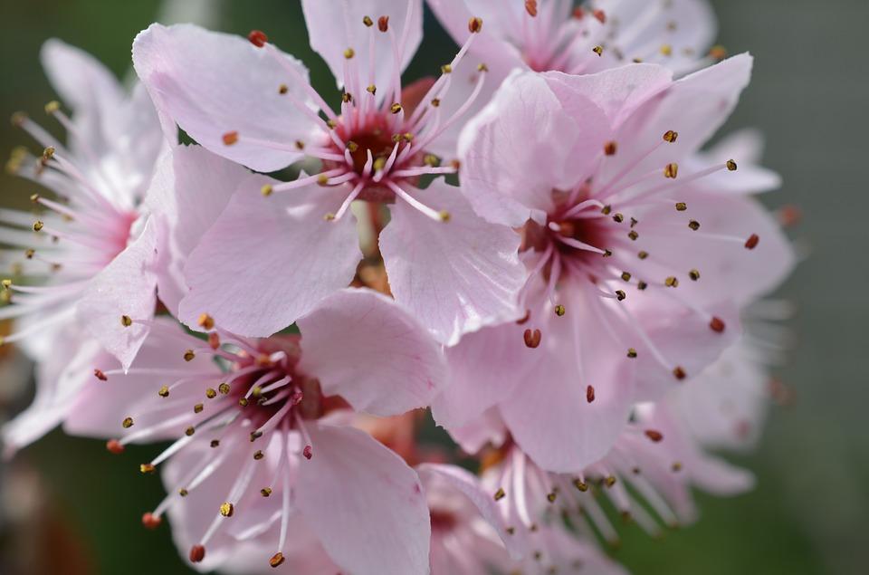 significado-de-la-flor-del-cerezo