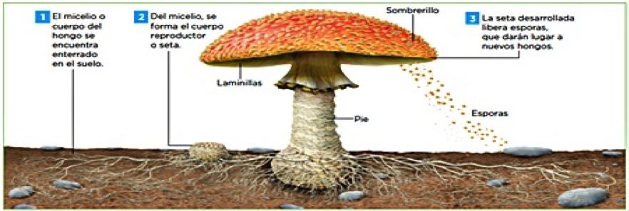 terapia con setas y hongos